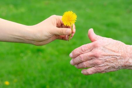 Jóvenes mano dando un diente de León a mano del senior