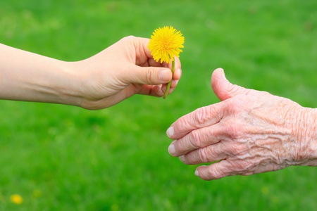 elderly care: Young hand giving a dandelion to seniors hand  Stock Photo