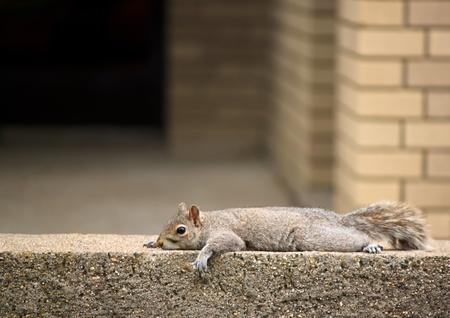 Adorable ardilla, apoyada en la pared de ladrillo Foto de archivo