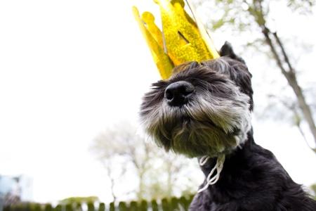 Miniature schnauzer wearing king's crown Stock Photo - 9877285
