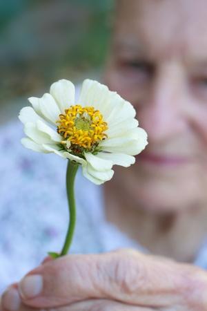 Senior lady holding white zinnia flower photo