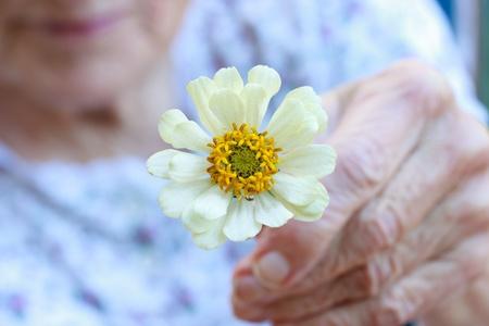 zinnia: Senior lady holding white zinnia flower