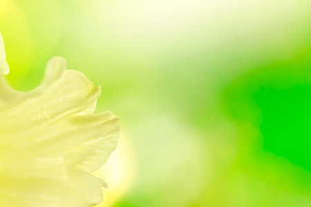 miracle leaf: Abstract daffodil background Stock Photo