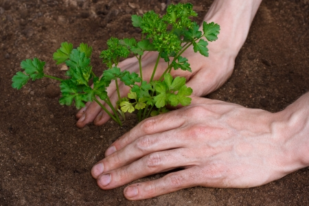 Planting young parsley photo