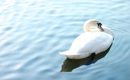 White Swan in Blue Lake photo