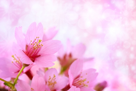 Pink cherry blossoms with abstract lights background photo