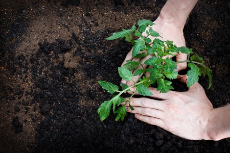 tending: Planting or tending to a young tomato plant