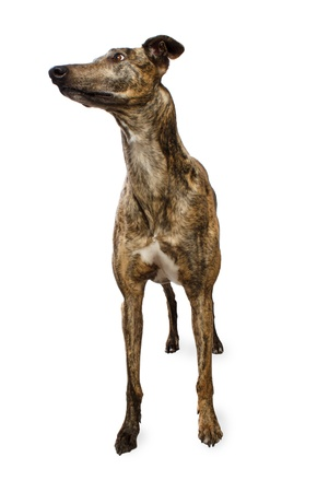 Standing Brindle Colored Greyhound Isoloated on White Background photo