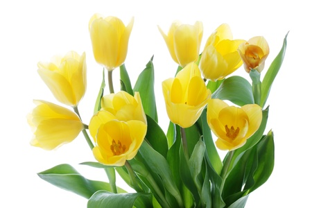 yellow stem: Beautiful Bunch of Tulips isolated on white