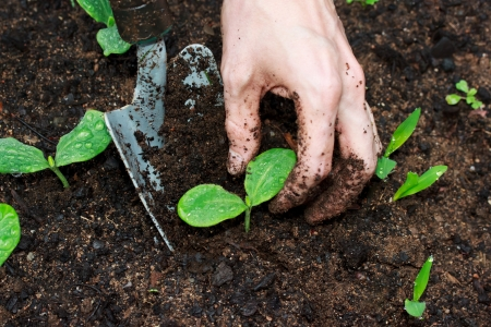 Young Squash plants being transplanted Stock Photo - 14040474
