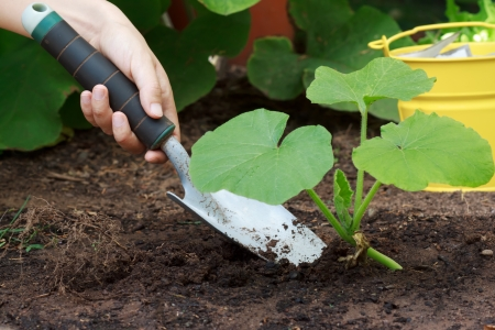 farming tools: Caring for Growing  Squash  Plants in a Garden Stock Photo