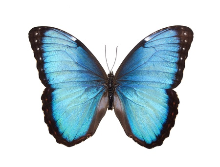 morpho: Blue Butterfly Isolated on White Stock Photo