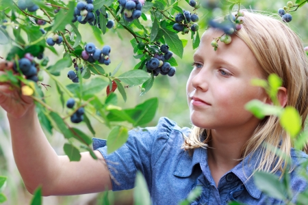 Young Blonde Girl Picking Blueberries in a Blue Dress