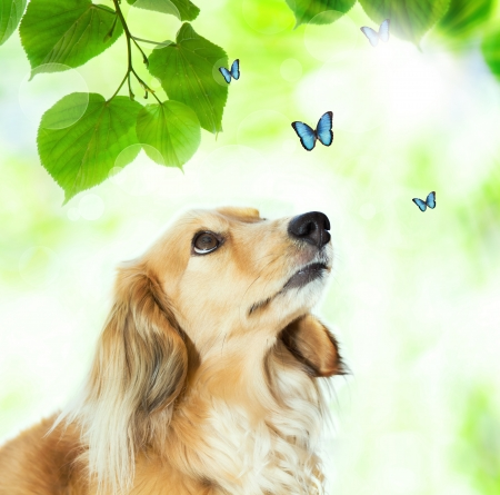 butterflies flying: Long hair Dachshund looking at the blue butterflies with shiny green leaves Stock Photo
