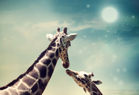 Two Giraffes, mother and child in friendship or love theme image at twilight