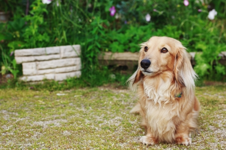 Cute Blond Long-haired Dachshund Outside