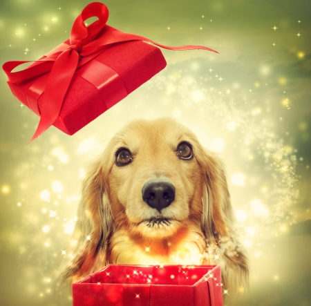 opening gift: Dachshund dog opening a red magic box