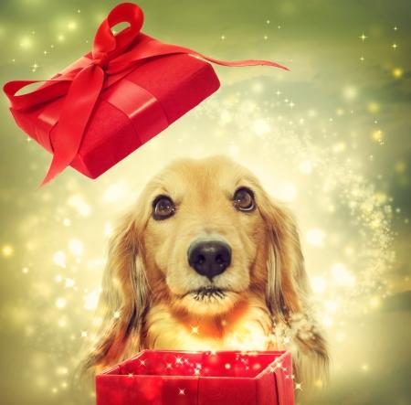 Teckel hond opening van een rode magische doos