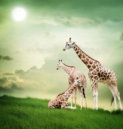 Three giraffes relaxing on the fantasy landscape  Banco de Imagens