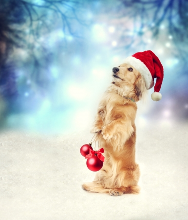 Dachshund dog with Santa hat holding two Christmas baubles Foto de archivo
