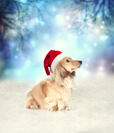 Dachshund dog with Santa hat sitting on the snow in the night photo