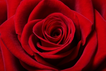 single red rose: Close up image of beautiful red rose
