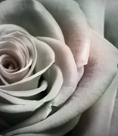Close up image of beautiful vintage style rose