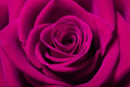 close up image: Close up image of beautiful magenta rose