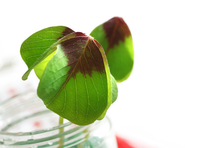 luckiness: Two shamrocks in glass jar over white background