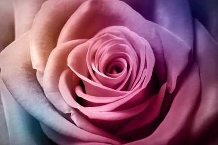 Close up image of beautiful colorful rose photo