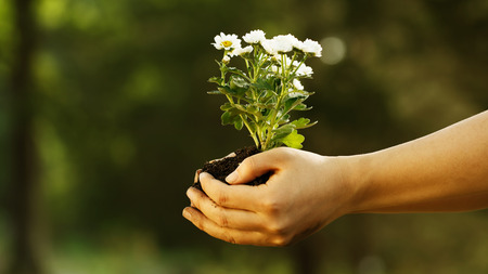 Female hand holding small white flowers with her both hands photo