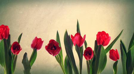 Red tulips on a muted pastel background photo