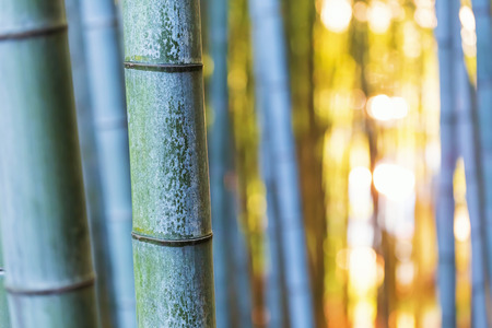 stalk: Big bamboo shoots close-up in the forest at sunset