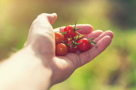 crecimiento planta: Hand holding fresh picked tomatoes outside in the sunlight