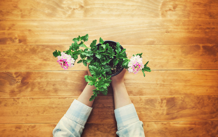 plant hand: Person holding potted flower on a rustic wooden table Stock Photo