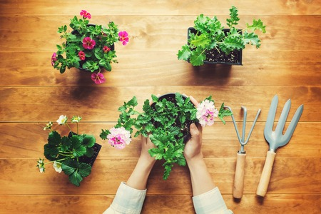 素朴な木製のテーブルの上の鉢植えの植物を保持している人