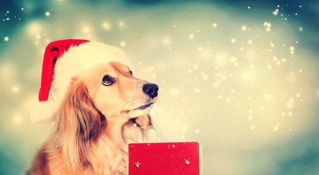 christmas hat: Dachshund dog wearing Santa hat with a red Christmas gift box Stock Photo