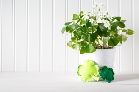 Saint Patricks Day shamrock in white pot