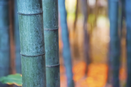 Big bamboo shoots close-up in the forest at sundown Stock fotó