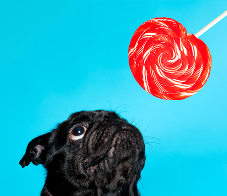 Black pug with lollypop on a blue background Stock Photo