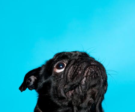 Cute black pug on a blue background Stock fotó