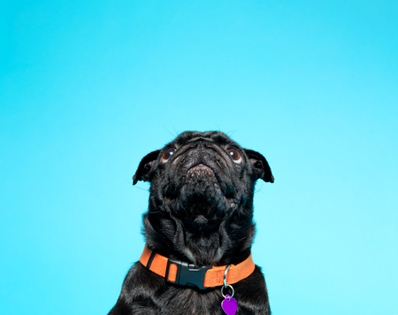 Black pug on a blue background Stock fotó