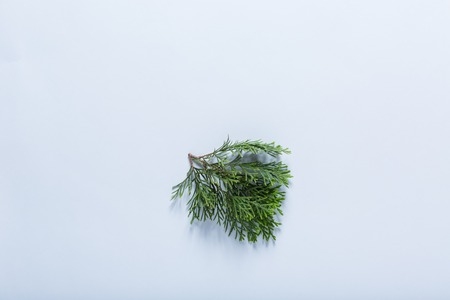 Leaf of evergreen arborvitae tree on cold white background Zdjęcie Seryjne