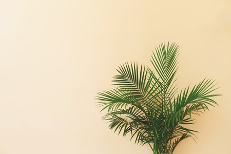 Large indoor palm plant in a pale yellow room Фото со стока