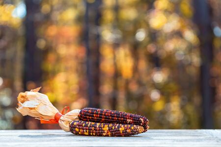 Ornamental corn on a fall forest background 写真素材