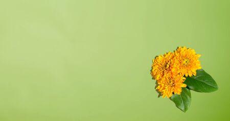 Chrysanthemum flowers from above - overhead view flat lay Zdjęcie Seryjne