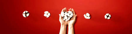 Female hands holding cotton flowers - flat lay Imagens