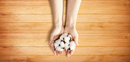 Female hands holding cotton flowers