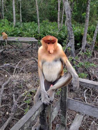 proboscis: Proboscis monkey sitting on railing Stock Photo