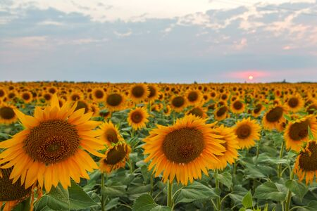 flowers of sunflower, field of blooming sunflowers on a background sunset